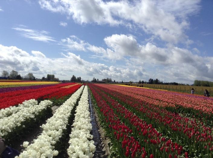 Skagit Tulip Town