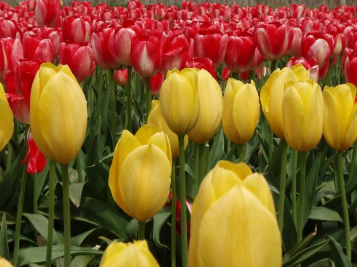 Skagit Valley Tulip Town Festiva