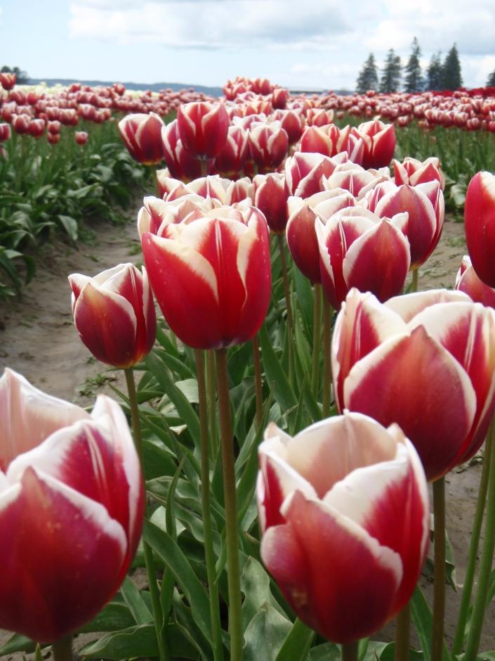 Skagit Valley Tulip Town Festival