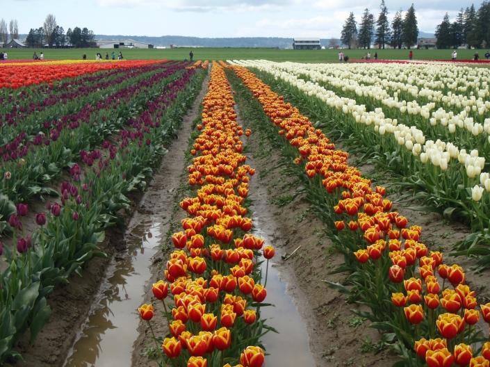 Tulip Festival Skagit Valley USA