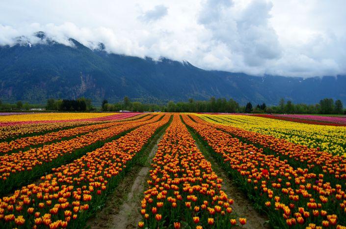Tulip Festival Vancouver