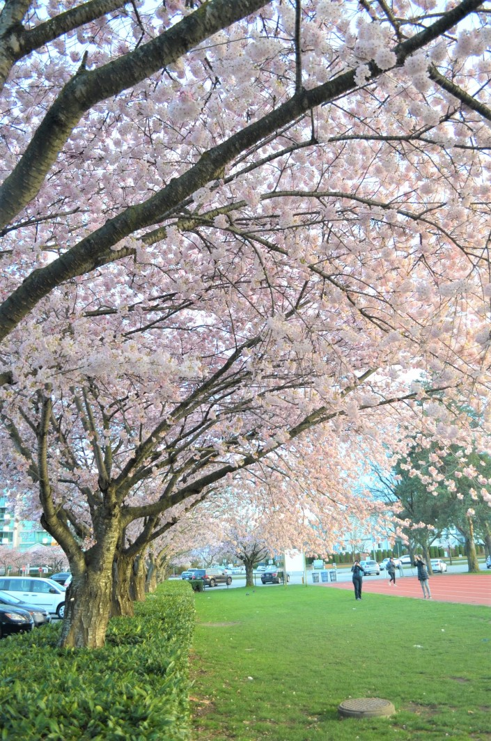 Cherry Blossom Time in Vancouver Canada