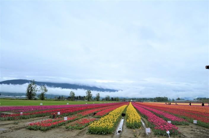 Fraser Valley Tulip Festival in Chilliwack BC Bristich Columbia Canada