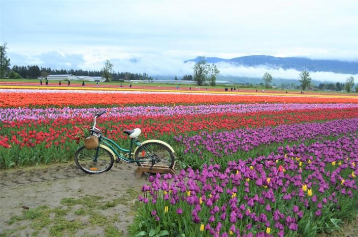 Fraser Valley Tulip Festival in Chilliwack BC Bristich Columbia