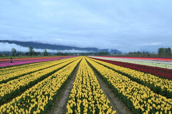 Fraser Valley Tulip Festival in Chilliwack BC