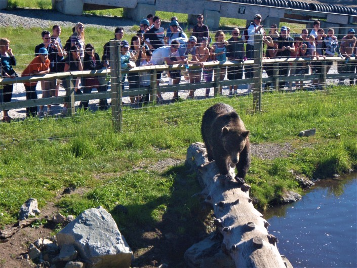 Grisly Bear Watch at Grouse Mountain Canada