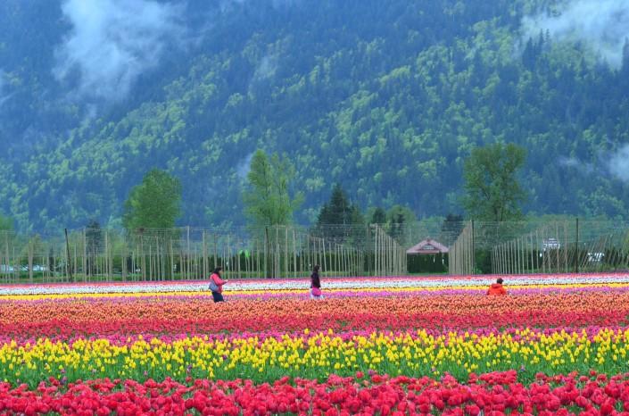 Tulips Festival in Canada