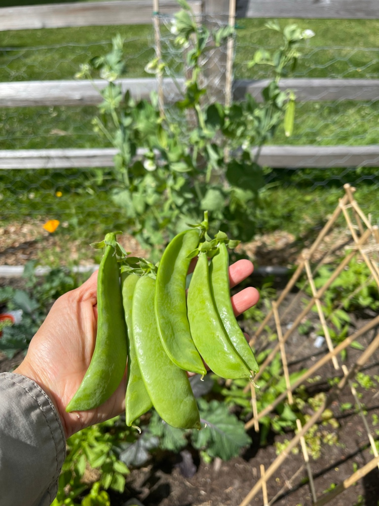 How to Water and Care for Snow Peas